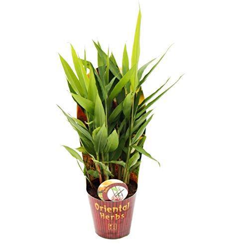 Exotenherz - Thai-Ingwer, Alpina galanga 12cm