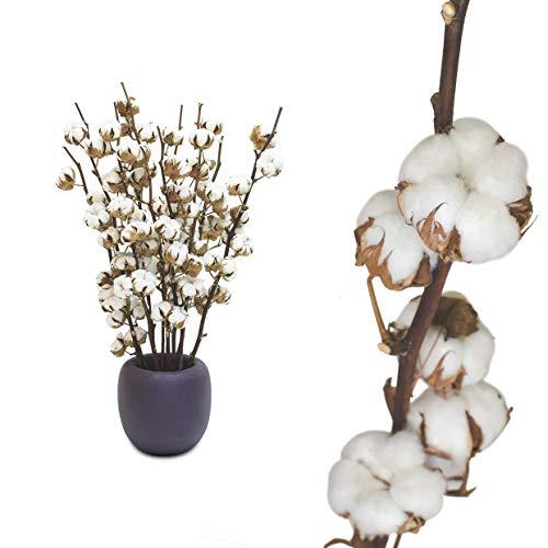 10 Zweige echte Baumwolle - 55 bis 60cm - 5 bis 7 Blüten pro Baumwollzweig - echte Pflanze getrocknet sehr lange haltbar - prima Dekoration mit Stil Deko DIY basteln Floristik