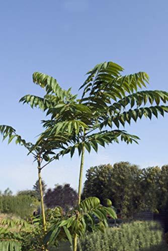 Chinesischer Gemüsebaum Toona Sinensis 5 Samen