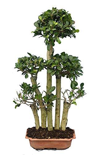 Ficus Bonsai - Chinesische Feige -...
