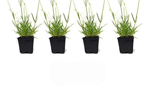 L+ Lavender Hidcote Blue Dark Purple Flowers (4' Size Pot, 4 Plants)
