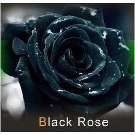 les colis noirs lcn Lot de 20 Graine Rose Rosier Noir