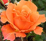 Bright Future - 5.5lt Potted Climbing Garden Rose - Vibrant Orange, Fragrant Blooms, Repeat Flowering