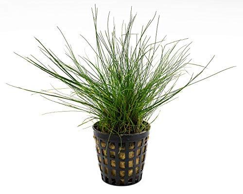 NatureHolic Zwerg-Nadelsimse - Eleocharis parvula Plants