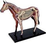 XIAOWANG Cavallo Anatomia Modello 4D Vision Anatomia Umana Modello 4D Vision Modello Cavallo Anatomia Montaggio di Puzzle Giocattolo Animale biologia Corpo Modello di insegnamento Medico