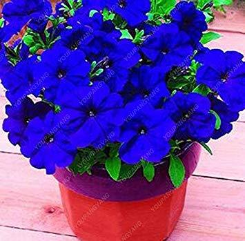 VISTARIC 12: 100 Pcs Clematis Graines de plantes Belle Paillage Graines de fleurs Bonsai ou un pot de fleurs vivaces pour jardin Mix Couleurs 12