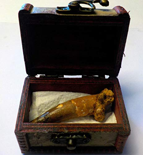 SPINOSAURUS - Dente foSSIL originale, 40 mm, in confezione regalo