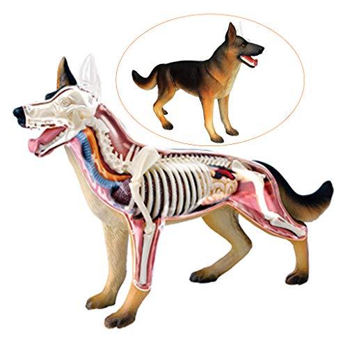 FXQ Modelo de anatomía del Perro médico: anatomía del Lobo, anatomía del Perro, simulación, biología Animal, órgano Desmontable, Partes del Cuerpo, Ciencia, Juguetes educativos