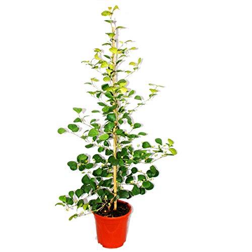 Exotenherz - Mispelfeige - Ficus deltoidea - 17cm Topf - ca. 80cm hoch