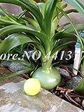 Bloom Green Co. 100 pcs/bolsa Cebolla gigante Dulce Bonsai español Verduras Germinación 95% Cebolla Bonsai para jardín Semillas de plantas en maceta Fácil de cultivar: 1