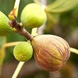 イチジクの苗木 品種:日本いちじく(蓬莱柿・ほうらいし)【品種で選べる果樹苗木 12~15cmポット 1年生 挿木苗/1個】(ポット植えなのでほぼ年中植付け可能)【※商品の特性上、背丈・形・大きさ等、植物には個体差がありますが、同規格のものを送らせて頂いております。また、植物ですので多少の枯れ込みやキズ等がある場合もございます。晩秋から初春は落葉時期ですので葉が無いか葉が傷んだ状態での出荷となります。予めご了承下さい】 【自社農場から新鮮苗直送!!】