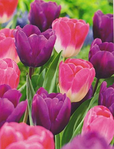 Tulpenzwiebeln lila/rosa Mix Tulpen (50 Blumenzwiebeln)