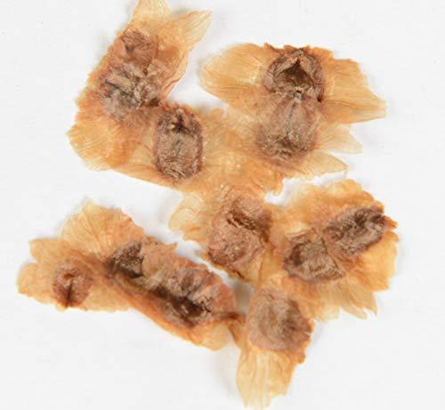 Amerikanische Trompetenblume Campsis radicans 150 Samen