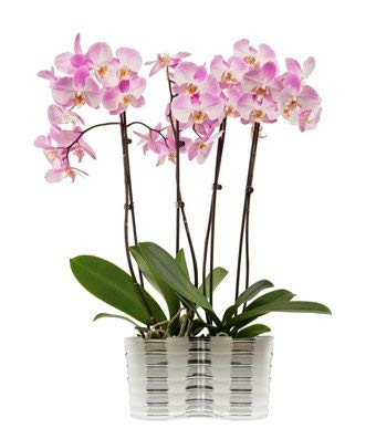 Plants OFFicial store - Elegant Orchids Manufacturer direct delivery Pink