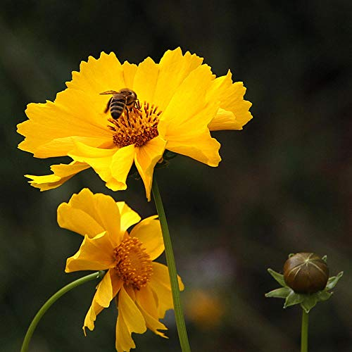 Aerlan Graines de Plantes,semences Florales,Coreopsis Chrysanthemum Graines Flower Garden Landscape Greening Seed-2kg