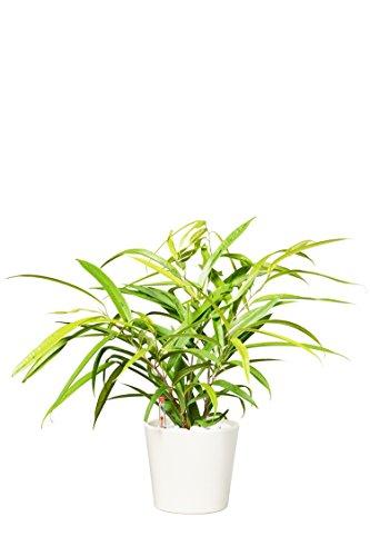 EVRGREEN | Zimmerpflanze Birkenfeige in Hydrokultur mit cemefarbenem Topf als Set | Ficus Benjamini | Ficus binnendijkii Amstel Gold