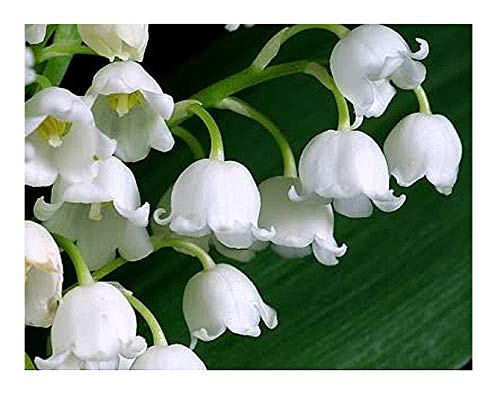 10 Large, Fresh, Plump Lily of The Valley Bare Root Plant Pips with Roots. Plant Now for Bloom in May.