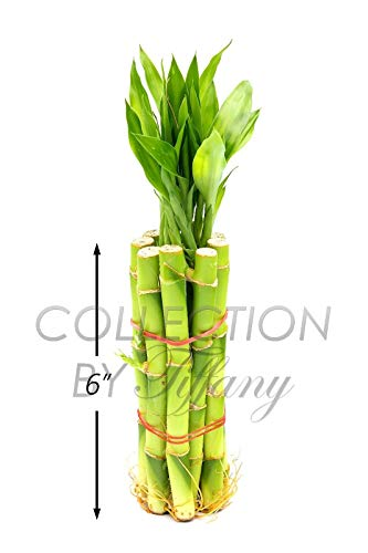 GEOPONICS 1-Baum Moringa. oleifera 12