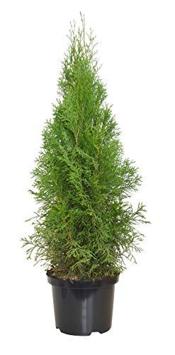 Heckenpaket Lebensbaum Thuja Smaragd, 5...