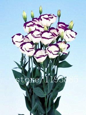 100pcs / pack lila Lisianthus Samen Seltene eustoma Samen Blumensamen Bonsai Samen für Heim & Garten