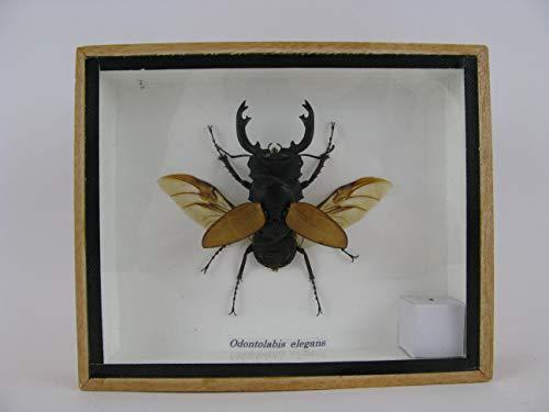 asiahouse24 Odontolabis elegans offen - echtes riesiges und exotisches Insekt im 3D Schaukasten, Bilderrahmen aus Holz - gerahmt - Taxidermy