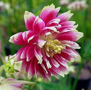 GEOPONICS Columbine Nora Barlow Aquilegia vulgaris único de la forma, 25 semillas