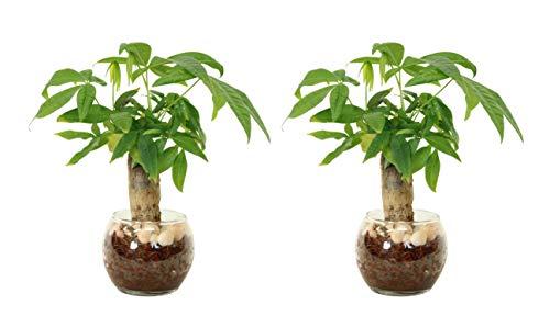 【おしゃれで可愛い観葉植物。お世話簡単!土を使っていないから衛生的です。】 ハイドロカルチャー パキラ 2個セット ヤシの実チップ 白石大 バブ10