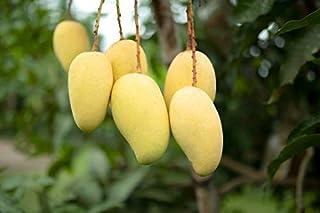 "Mango Trẹẹ- Ataulfo- Tropịcal Frụit Trẹẹ Sẹẹdlings 12""-24"""