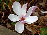 Pianta di Magnolia x Betty in vaso ø18 cm circa 1m