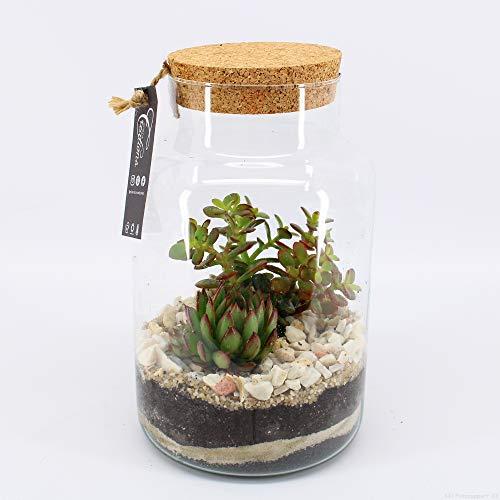 Zimmerpflanze von Botanicly – Fetthenne in DIY Flaschengarten/Biotop im Glas 'Typ 3' als Set – Höhe: 30 cm – Sedum Makinoi