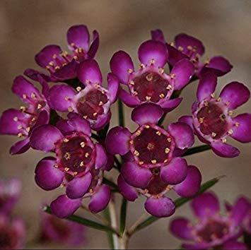 Potseed Chamelaucium Uncinatum Lila Geraldton Wachs Seeds (N 258)