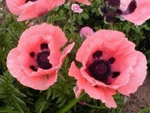 GETSO Samen-Paket Nicht Pflanzen: SEEDSPrincess Victoria Louise Blume /