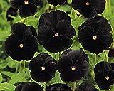 Semillas BloomGreen Co. Flor: Pensamiento Negro Pantera Variedad Inicio Inicio Jardín Jardín Semillas Semillas [Home Garden Eco Pack] Semillas de la planta