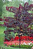 Forest Pansy Redbud Tree 2 Year Old 4-5 Ft Tall