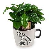 COFFEA ARABICA, PIANTA DEL CAFFE', TAZZA IN CERAMICA BIANCA, Pianta da Interno, Pianta Vera