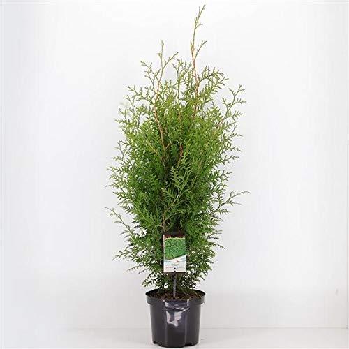 Lebensbaum Brabant 80-100 cm - Thuja occidentalis Brabant - Heckenpflanze - Koniferen