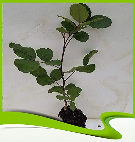 Ceratonia siliqua (Caroubier) - Plante