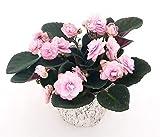 Zoom IMG-1 saintpaulia pink lady in vaso