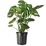 American Plant Exchange Split Leaf Philodendron Monstera Deliciosa Live Plant, 3 Gallon, Green