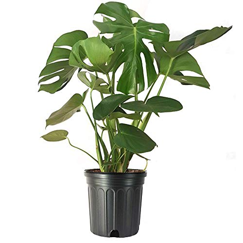 American Plant Exchange Split Leaf Philodendron Monstera Deliciosa Live Plant, 3 Gallon, Indoor/Outdoor Fruit Producing
