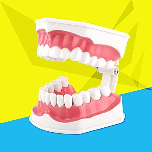 Modelo de dientes anatómicos, modelo de enseñanza de dientes de niño ligero estándar, no tóxico, fácil de limpiar y empaquetar para enseñar o para el cuidado bucal