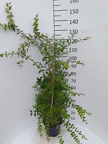 Späth Perlmuttstrauch LH 60-100 cm im 3 Liter Topf Heckenpflanze winterhart Zierstrauch intensiv duftend