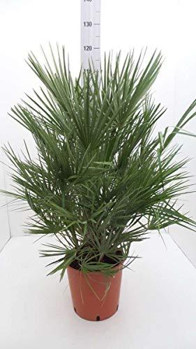 Winterharte Zwergpalme 120 cm Chamaerops humilis Eine der kältetolerantesten Palmenarten in Europa