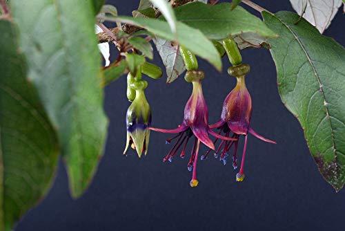 GEOPONICS Pinkfarbene Samen 10 Samen (fuchsia excorticata Kotukutuku)