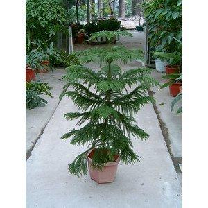 2016 50 graines Araucaria plantes de plein air rafraîchissant Bonsai plantes graines de feuillage arbre graines 49%