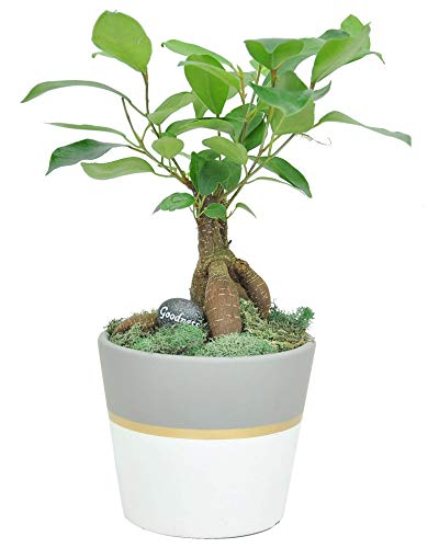 Costa Farms Mini Grower's Choice Bonsai Live Indoor Tree Tabletop Plant, White Ceramic Planter
