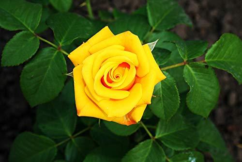 Rosa 'Freedom' Hybrid Tea Rose Bush, Deep Butter-Yellow Flowers & Glossy Leaves 3fatpigs