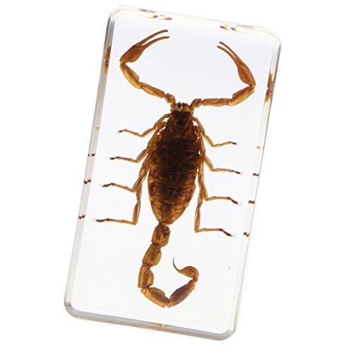 Baoblaze Echtes Insekt Briefbeschwerer Präparation Präparat - gelbe Skorpion -2