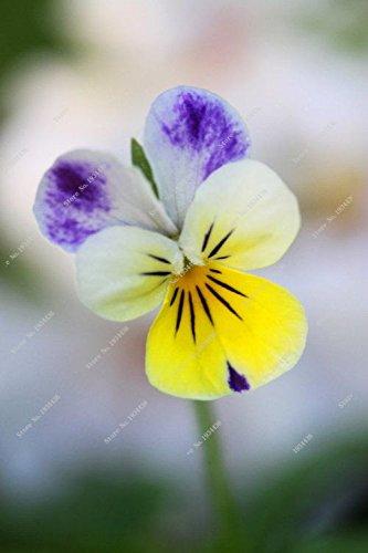 100 Pcs exotiques Seed Pansy Graines Mix Couleur onduleux Viola Tricolor Graines de fleurs d'intérieur Bonsai Bricolage Potted Maison & Jardin 8