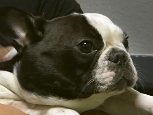 Frenchie with a Bump